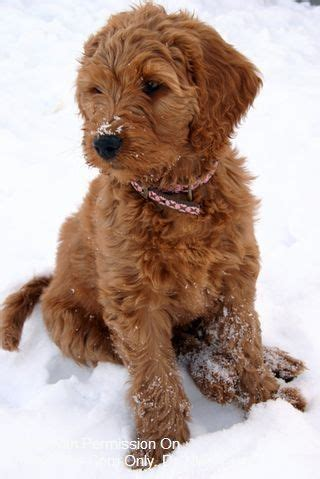 goldendoodle hair types red goldendoodle i want one so bad manly pinterest