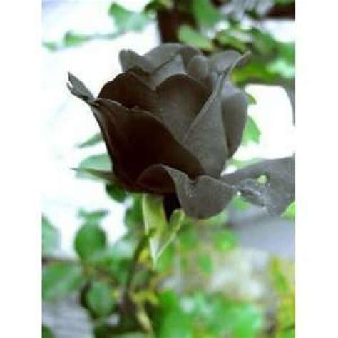 Benih Mawar Hitam benih mawar hitam black