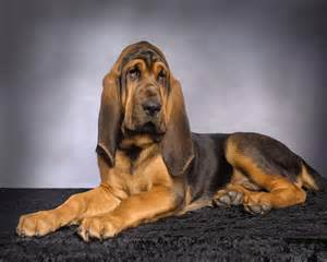 bloodhound colors bloodhound breed 187 information pictures more
