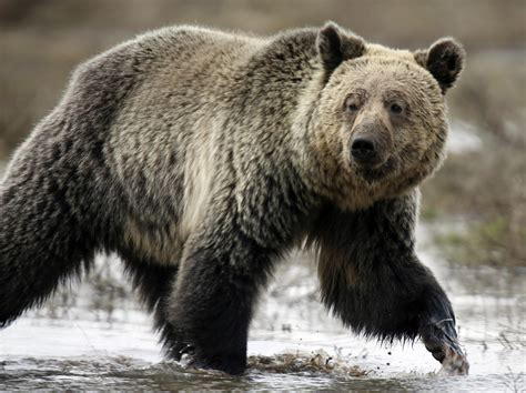 Grizzly Bears Yellowstone National Park U S National Park Service - grizzly bear mauls cyclist to death in us national park