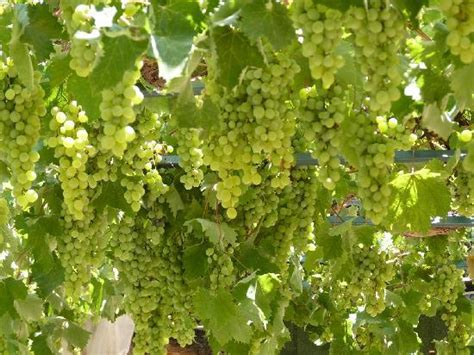 Jual Bibit Anggur Dataran Tinggi jual bibit buah tanaman hidup anggur hijau serbabibit