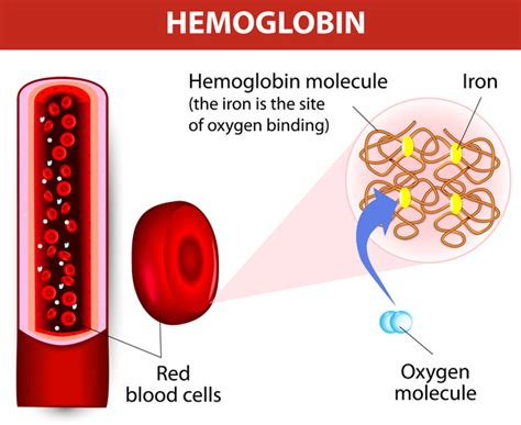 Hemoglobin Also Search For Alpha Thalassemia Genetics Home Reference