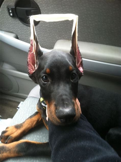 doberman puppy cropped ears 1823 best images about doberman on doberman pinscher doberman