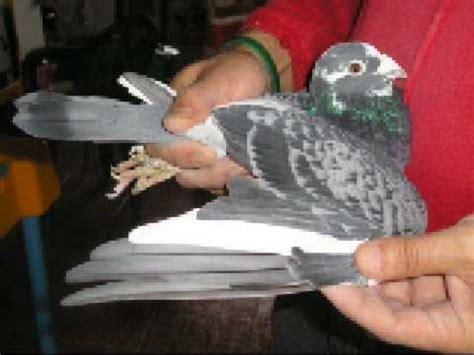 purebred stichelbaut by kulbackiprzyjmuje zamwienia na palomas stichelbaut 2 doovi