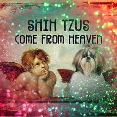 s shih tzu heaven shih tzu s and quotes on 131 pins