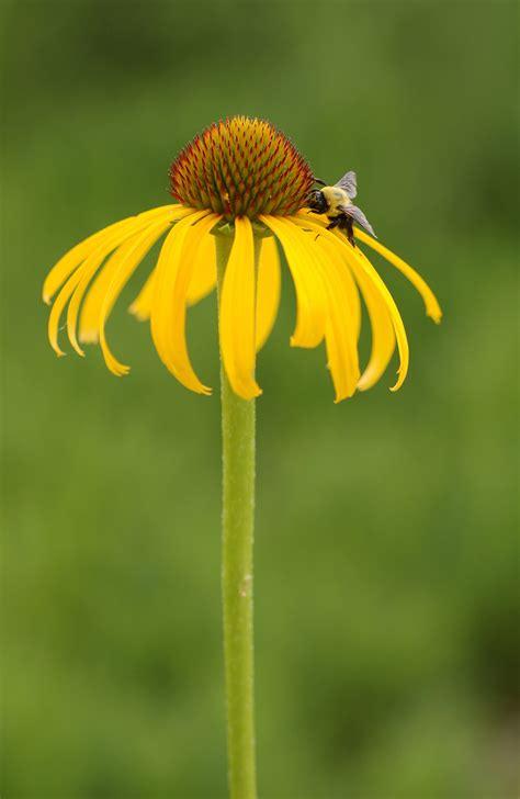 Single Bud file yellow coneflower echinacea paradoxa single flower bee 1895px jpg