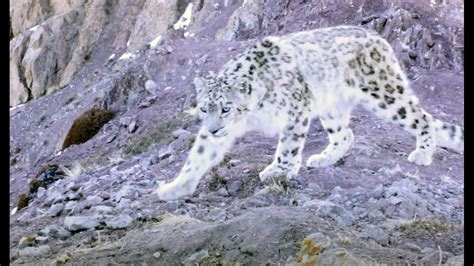 can of snow elusive snow leopard of the himalayas planet earth ii