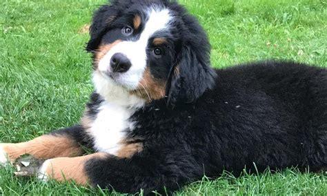 bernese mountain breeders ny bernese mountain puppies ny beautiful bernese mountain puppies with a