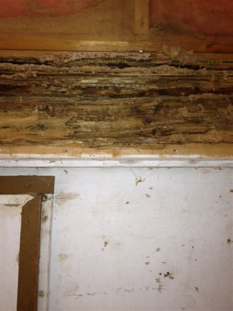 carpenter ants in house carpenter ants in house damage pictures to pin on pinterest pinsdaddy