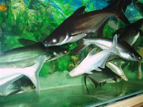 Jual Bibit Ikan Lele Banda Aceh budidaya dan pembibitan ikan patin pasopati