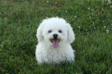 Bichon Frise Also Search For Bichon Frise S Pet Corner