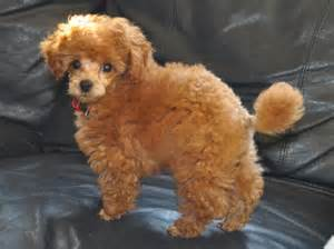 different poodle haircuts pictures of different types of poodle hair cuts 17 best