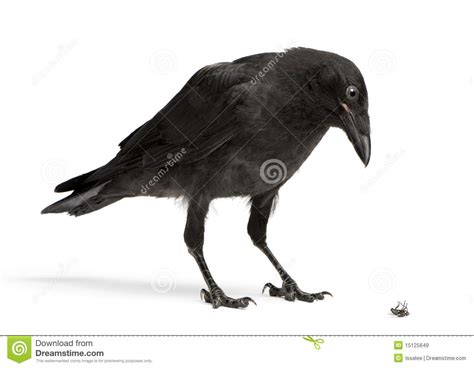 crow looking down at a dead fly stock image image 15125649
