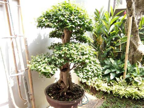 pohon serut bonsai tanaman serut bonsai