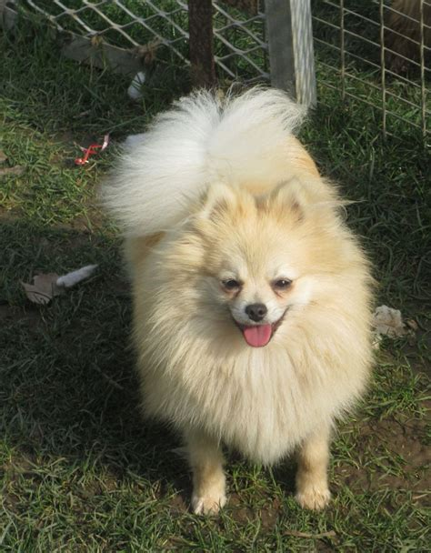 german spitz puppies klein german spitz puppies www imgkid the image kid has it