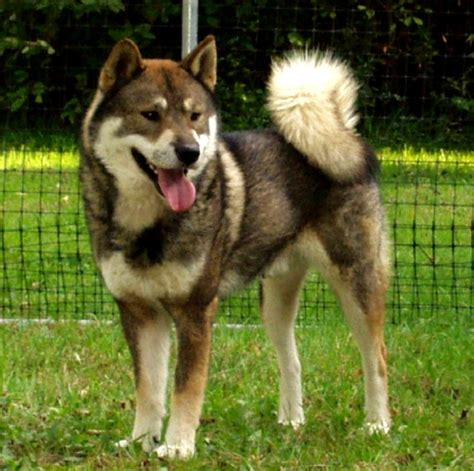 shikoku puppies shikoku breeders puppies and breed information