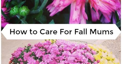 how to care for fall mums container gardening pinterest