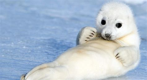 what size l harp do i need picture of the day baby harp seal reveals its thoughtful