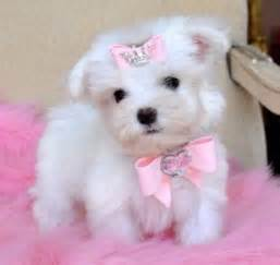Teacup dogs for adoption related keywords amp suggestions teacup dogs