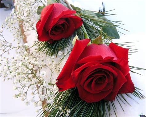 flores rojas fondos de rosas rojas fondos de pantalla de rosas rojas