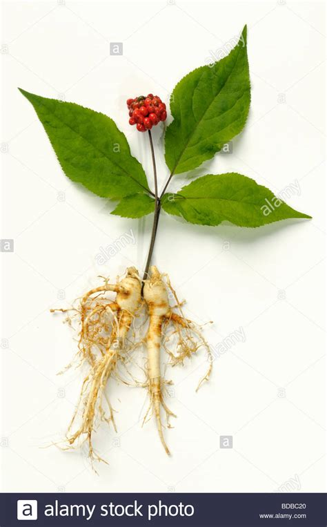 Panax Ginseng ginseng panax ginseng arrangement of fruit leaves and roots stock photo 25451832 alamy