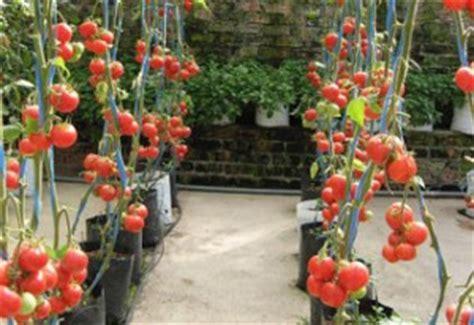 Furadan Cabe dedi pasanraku cara menanam tomat dalam polybag