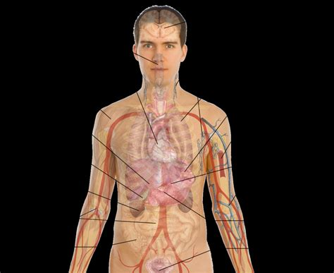 diagram of human organs diagram of the human organs human anatomy diagram