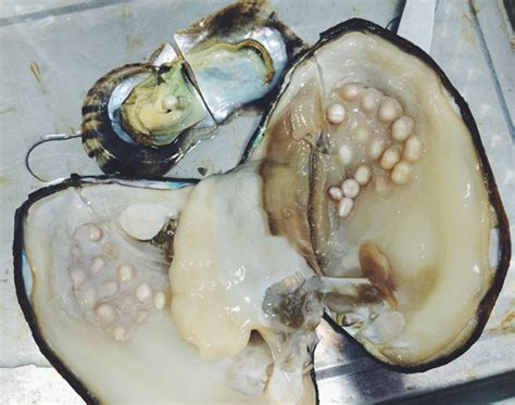 freshwater pearl vs saltwater pearl download images photos and pictures