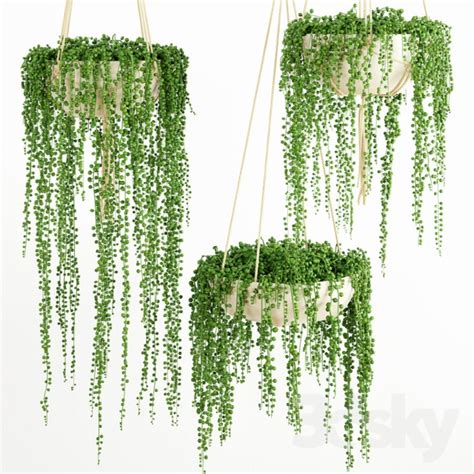 string of plant 3d models plant string of pearls plant 1