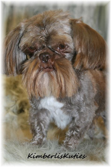 shih tzu rescue glasgow yorkie biewer imperial shih tzu scottish terrier country of breeds picture