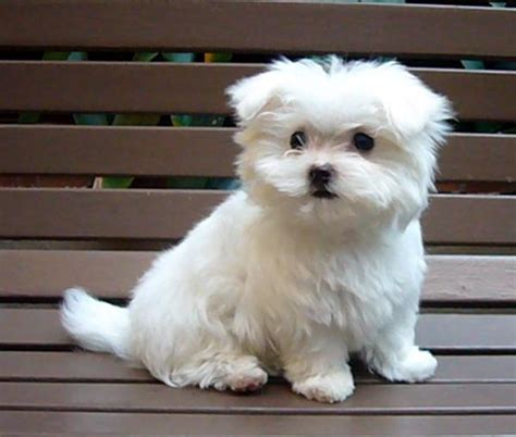 maltese puppy for sale maltese puppies breeders puppy breeders maltese puppies tedlillyfanclub