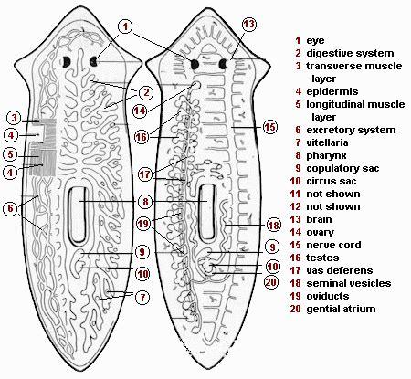 planaria diagram planarian diagram www pixshark images galleries