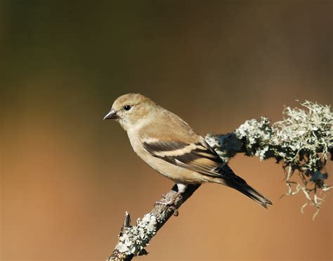 darwin s goldfinches volusia naturalist