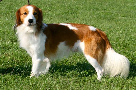 canine breed kooikerhondje info temperament care puppies pictures