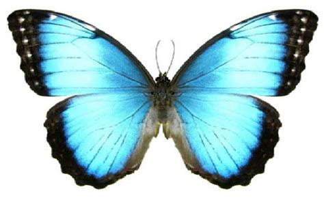 imagenes de mariposas morfo azul eca organizaci 243 n y producci 243 n de eventos mariposa az 218 l