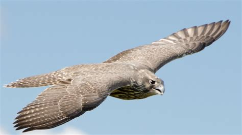 what is fling 5 fastest birds on the planet