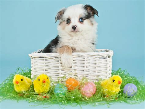 puppy eggs dogs holidays easter chickens puppy wicker basket eggs animals wallpaper 3000x2250