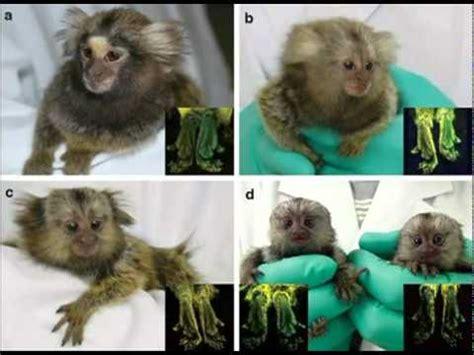 imagenes de animales transgenicos animales transgenicos youtube
