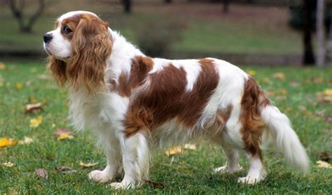 cavalier dogs cavalier king charles spaniel breed information