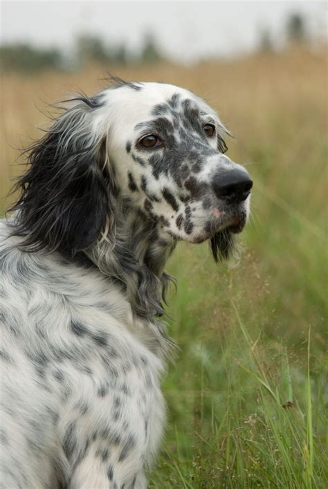 setter dogs laverack setters photo breeds picture