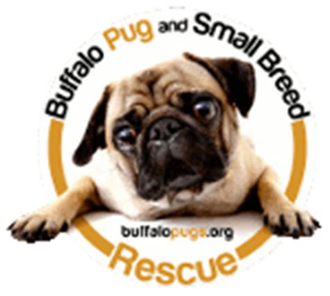 pug rescue ny buffalo pug small breed rescue inc about us
