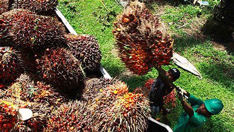 Minyak Kelapa Sawit Saat Ini orang asli tuduh sime darby ras tanah di kalimantan kata laporan free malaysia today