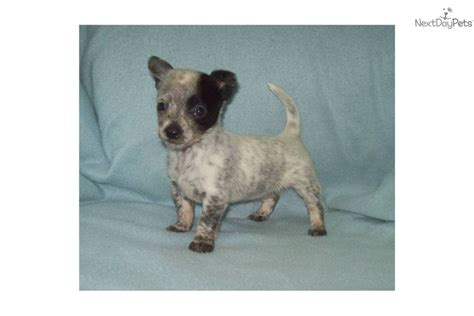mini blue heeler puppies for sale australian cattle blue heeler puppy for sale near bend oregon d6a96ec2 79e1