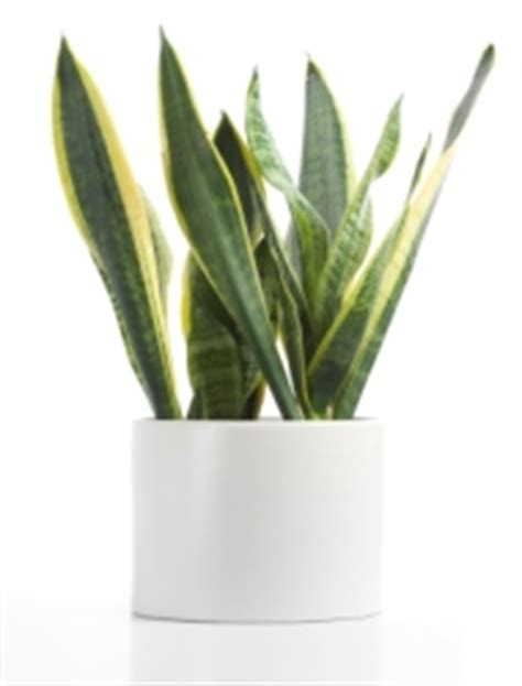 10 houseplants that don t need sunlight sansevieria trifasciata common house plants with pictures