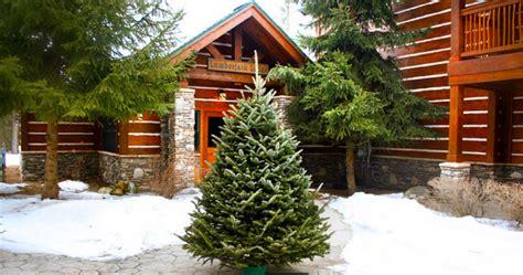 50 off live fraser fir christmas tree or wreath delivered