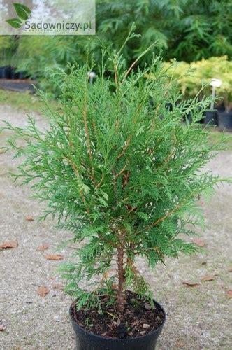 wann thujen setzen abendl 228 ndischer lebensbaum thuja occidentalis