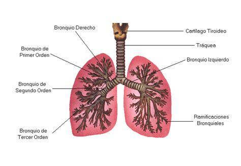 imagenes del sistema respiratorio ingles emei sexto grado