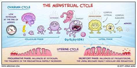 Menstrual Cycle Calendar The Menstrual Cycle Medcomic