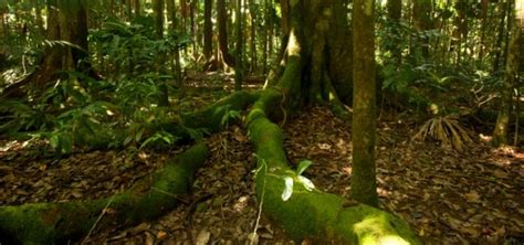 buy tree sydney buy real tree sydney rainforest 100 images kuranda