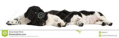 stabyhoun puppies stabyhoun puppies lying together resting stock photo image 38858157